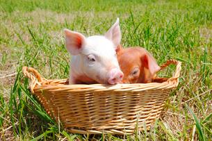 子豚の写真素材 [FYI04034155]