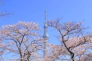 東京スカイツリーと桜の写真素材 [FYI04034157]