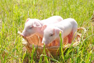 子豚の写真素材 [FYI04034169]