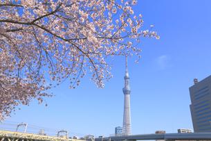 東京スカイツリーと桜の写真素材 [FYI04034171]