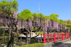 藤の花と東京スカイツリーの写真素材 [FYI04034178]