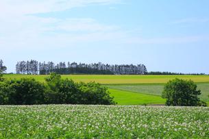 ジャガイモ畑の写真素材 [FYI04034187]