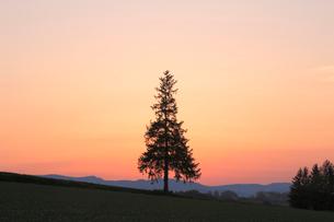 夕暮れのクリスマスツリーの木の写真素材 [FYI04034217]