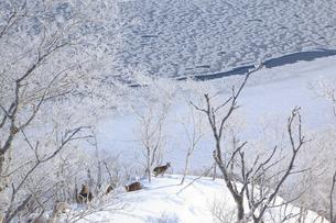 摩周湖とエゾシカの写真素材 [FYI04034257]