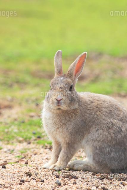 ウサギの写真素材 [FYI04034275]