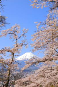 富士山と桜の写真素材 [FYI04034276]