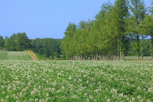 ジャガイモ畑の写真素材 [FYI04034285]