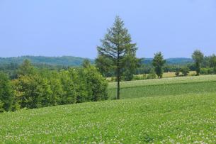 ジャガイモ畑の写真素材 [FYI04034286]