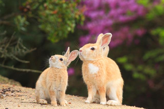 ウサギの写真素材 [FYI04034292]