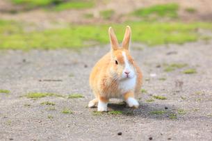 ウサギの写真素材 [FYI04034295]