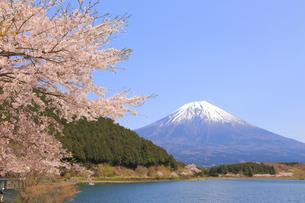 田貫湖の桜の写真素材 [FYI04034306]