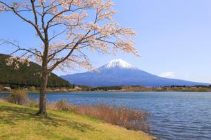 田貫湖の桜の写真素材 [FYI04034377]