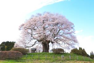 醍醐桜の写真素材 [FYI04034403]