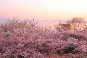 王子が岳の桜の写真素材 [FYI04034419]