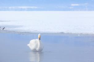 白鳥の写真素材 [FYI04034420]