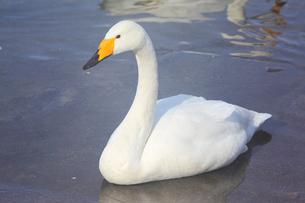 白鳥の写真素材 [FYI04034428]
