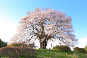醍醐桜の写真素材 [FYI04034434]