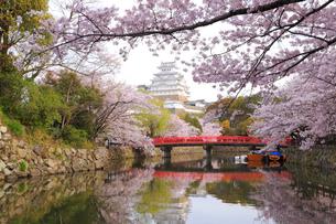 姫路城と桜の写真素材 [FYI04034445]