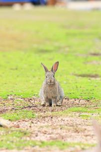 ウサギの写真素材 [FYI04034500]