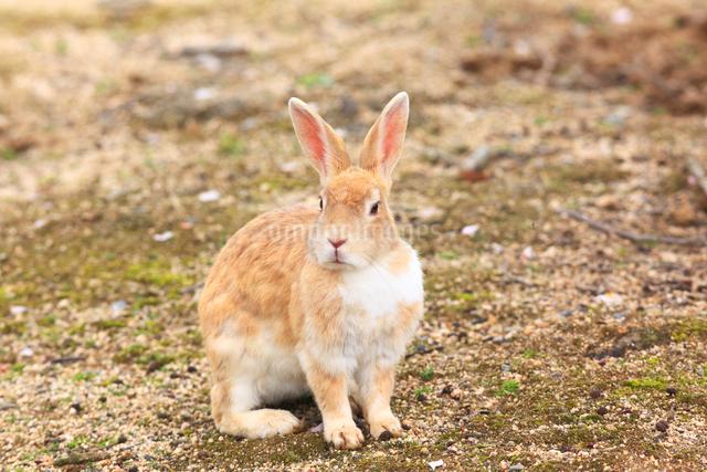 ウサギの写真素材 [FYI04034502]