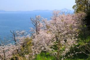 赤穂東御崎公園の桜の写真素材 [FYI04034507]