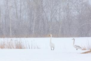 白鳥の写真素材 [FYI04034510]