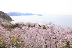 赤穂東御崎公園の桜の写真素材 [FYI04034522]