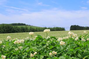 ジャガイモ畑の写真素材 [FYI04034525]