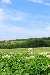 ジャガイモ畑の写真素材 [FYI04034527]