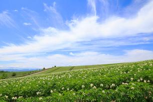 ジャガイモ畑の写真素材 [FYI04034531]