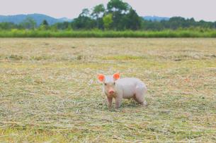 子豚の写真素材 [FYI04034569]