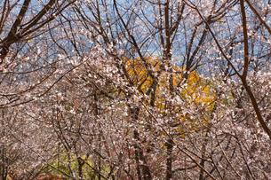城峯公園の冬桜と紅葉の写真素材 [FYI04034587]
