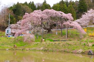 中島の地蔵桜の写真素材 [FYI04034602]