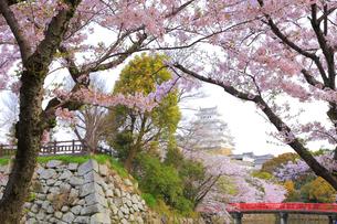 姫路城と桜の写真素材 [FYI04034646]