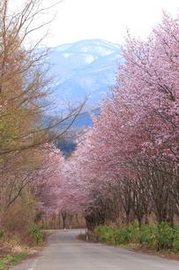 世界一の桜並木の写真素材 [FYI04034716]