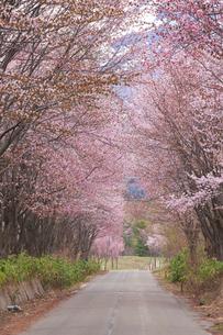 世界一の桜並木の写真素材 [FYI04034723]
