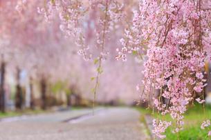 日中線記念自転車歩行者道の桜の写真素材 [FYI04034733]