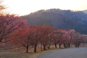 田沢湖高原の桜の写真素材 [FYI04034796]