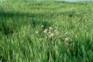 風に揺れる草花の写真素材 [FYI04035191]
