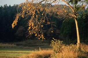 朝日を浴びる柿の木の写真素材 [FYI04035210]