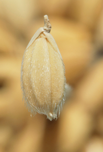 コシヒカリのモミの写真素材 [FYI04035409]