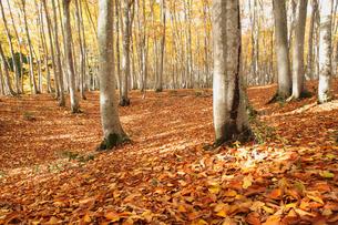 美人林のブナの紅葉の写真素材 [FYI04035533]
