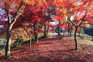 村松公園のモミジの紅葉の写真素材 [FYI04035537]