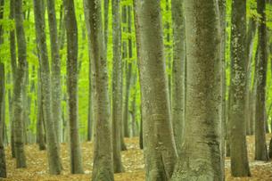 松之山美人林のブナの新緑の写真素材 [FYI04035610]