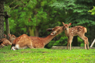 奈良公園のシカの写真素材 [FYI04035621]