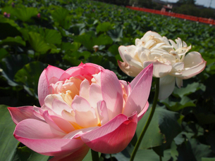 高田公園のハスの花の写真素材 [FYI04035671]