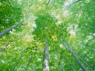 美人林のブナの新緑の写真素材 [FYI04035699]