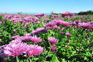 食用菊かきのもと畑の写真素材 [FYI04035906]