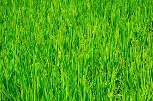 稲の花の写真素材 [FYI04035971]