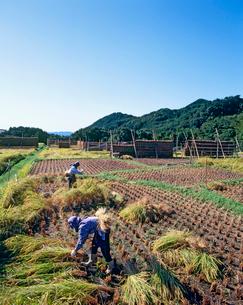 新潟の稲刈り風景の写真素材 [FYI04036013]